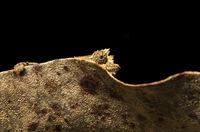 Chamäleon Brookesia superciliaris