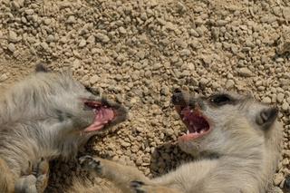 Agressive Erdmännchen zeigen ihre Zähne