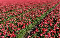Feld mit pinkfarbenen Tulpen zur Produktion von Blumenzwiebeln in der Blumenzwiebelregion Bollenstreek
