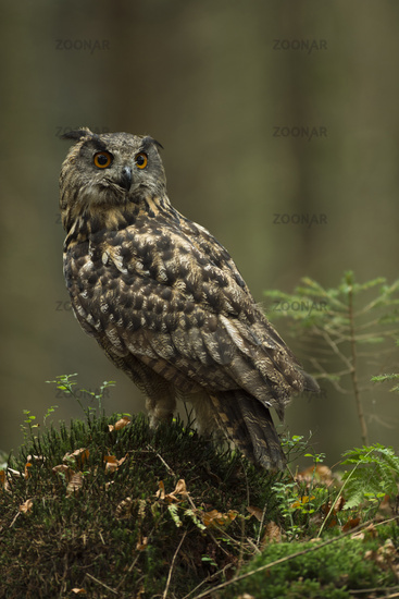 in the woods... Northern Eagle Owl *Bubo bubo*
