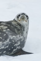 Portrait of a Weddell seal lying on its side on the ice