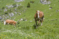 Horse and cow in an alpine meadow