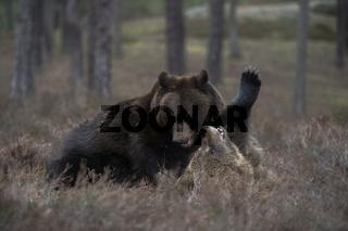Rangelei unter Geschwistern... Europäische Braunbären *Ursus arctos*