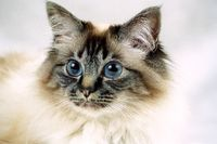 SACRED CAT OF BIRMA, BIRMAN CAT, SEAL-TABBY-POINT, CLOSEUP,