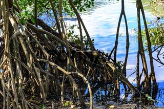 Detail of vegetation of the tropical mangrove