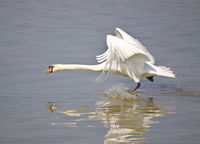 Mute swan taking off from the water