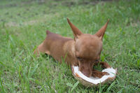 Cute ginger little dog with coconut