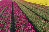 looming tulip field in the area of Bollenstreek, Netherlands