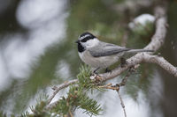 perched in a conifer... Mountain chickadee *Parus gambeli*