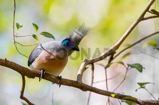 Atractive bird Crested coua (Coua cristata)