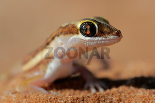 Kalahari ground gecko