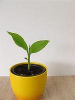 Turmeric plant in flower pot