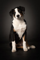 appenzeller dog in full view on black