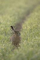 sit and wait... European Hare *Lepus europaeus*