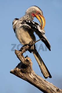 Yellow-billed hornbill
