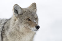 close-up... Coyote *Canis latrans*