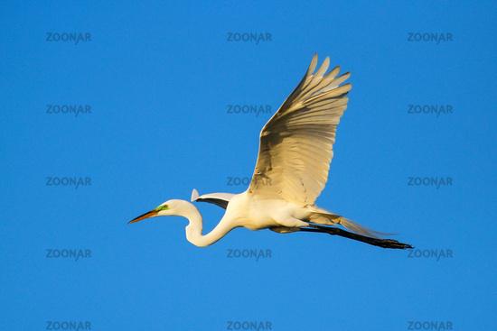Great Egret (Ardea alba) in flight