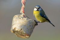 Blue tit with a fat ball