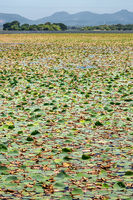 Many water lilies on water surface