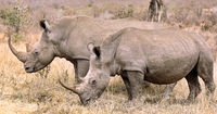 white rhinoceroses, South Africa