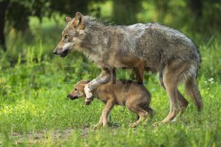 Wolf, European Gray Wolf, Canis lupus lupus