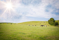 Green pasture with cows