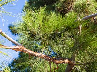branch of Crimean Pine (Pinus Nigra Pallasiana)