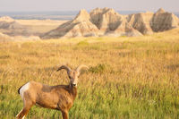 Bighorn Sheep Male Ram Badlands National Park South Dakota