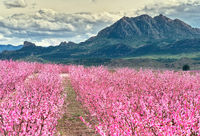 Orchards in bloom. Blossoming of fruit trees in Cieza in the Murcia region. Peach, plum and nectarine trees. Spain