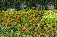 Summer marigold flowerbed and cobweb on neglected boxwood bushes