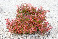 Small bush with green and red leaves.