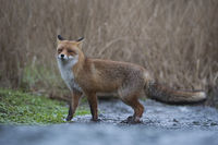 crossing a little brook... Red Fox *Vulpes vulpes*