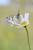 Marbled White * Melanargia galathea * resting on Oxeye Daisy