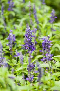 blue salvia purple flower closeup