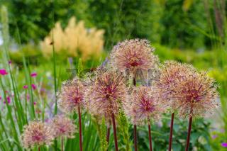 Zierlauch , lila Blumen im Garten - ornamental onion Allium, purple flower balls in garden