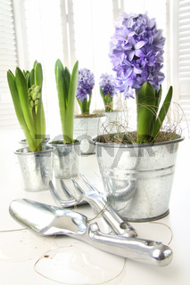 Purple hyacinths on table with sun-filled windows