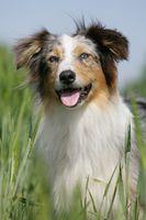 Australian shepherd blue-merle