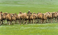 Herd of Bactrian camels roaming in the Mongolian steppe, Mongolia