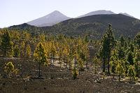 Kanarische Kiefern (Pinus canariensis) in Vulkanlandschaft, hint
