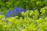 Weicher Frauenmantel, Alchemilla mollis - the herbal plant ladys-mantle or Alchemilla mollis