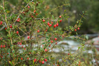 Berberis shrubs with berries in Altai mountains