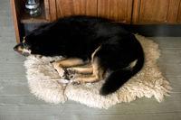 Hund liegt auf einem Schafsfell