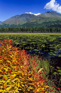 Weidenroeschen im Herbst am Ufer eines Bergsees / Kenai-Halbinsel  -  Alaska