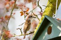 Eurasian Tree Sparrow at a Birdhouse building a nest