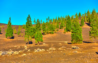 Pine-trees in Teide national park