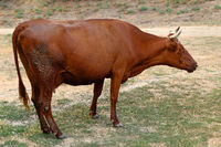 Cow grazing on a depleted pasture.