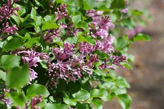 Flieder - small purple lilac flower in garden
