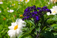 Vanilleblume - Garden Heliotrope in summer garden