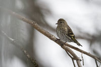 so small...  Pine siskin *Spinus pinus*