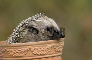 Igel, hedgehog, Erinaceus europaeus